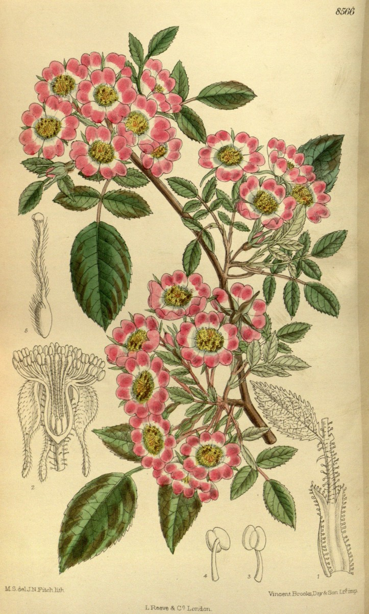 """Rosa corymbulosa"" rys. M.S. del., J.N.Fitch lith.(1914)/ Curtis's Botanical Magazine, London"