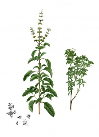A Royal Herb