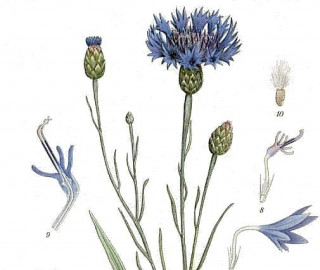 The Sorrows of Young Cornflower